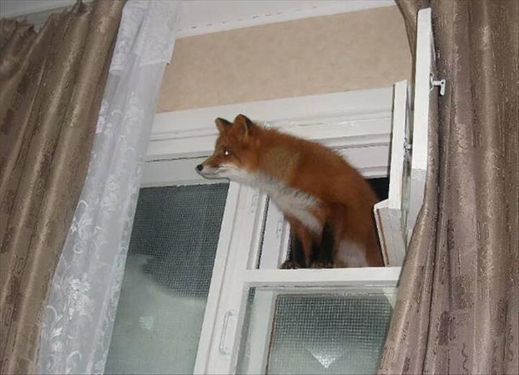 лиса залезла в окно