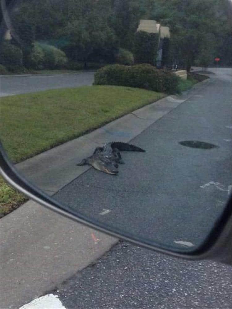 крокодил ползет по дороге