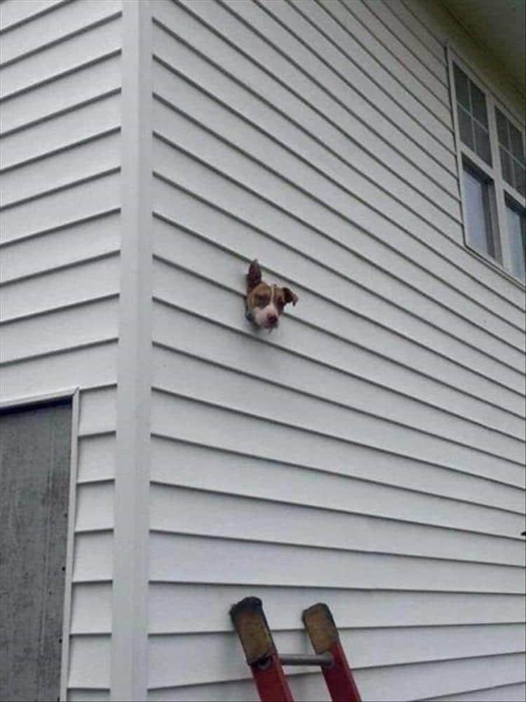 голова собаки торчит из дома