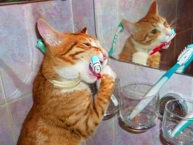 рыжий кот чистит зубы