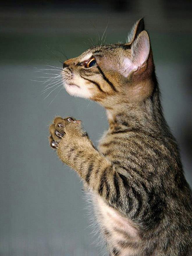 полосатый кот стоит боком