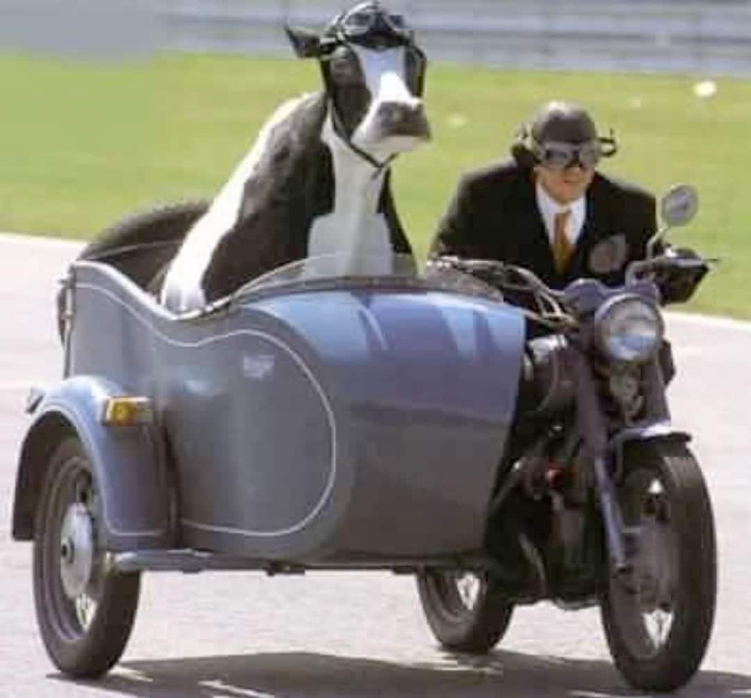 корова на мотоцикле