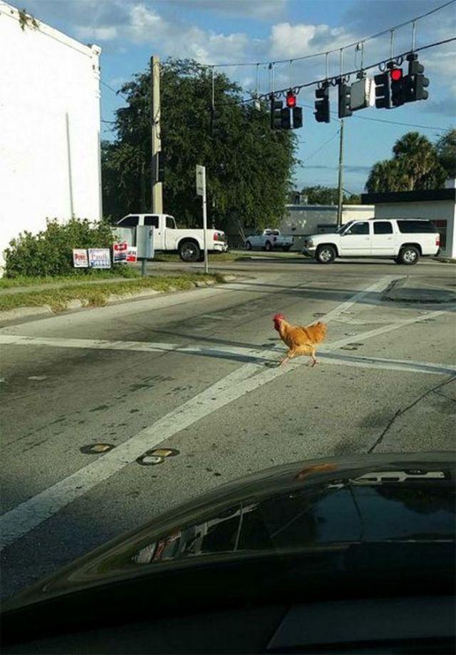 курица переходит дорогу