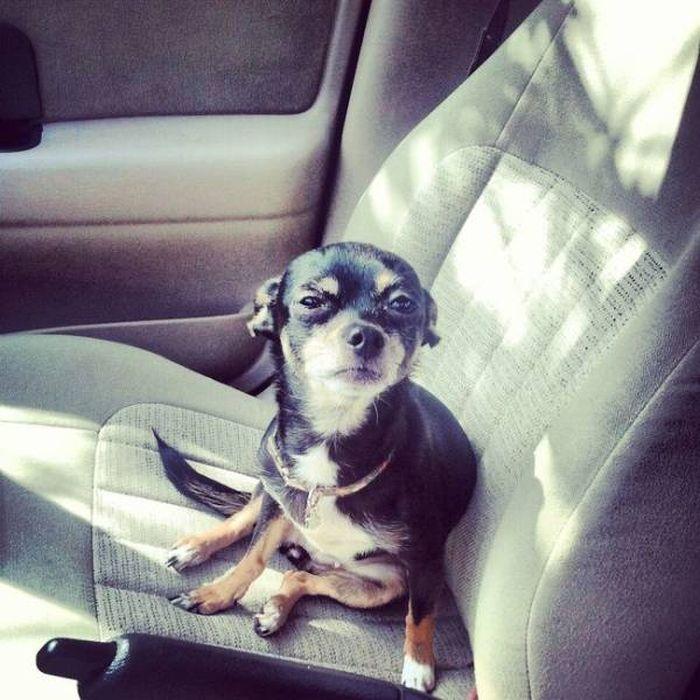 черная собака в авто
