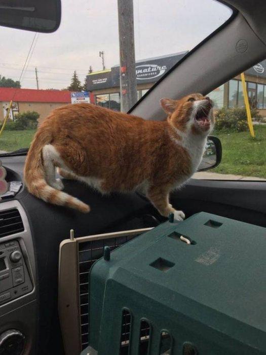 рыжий кот в машине