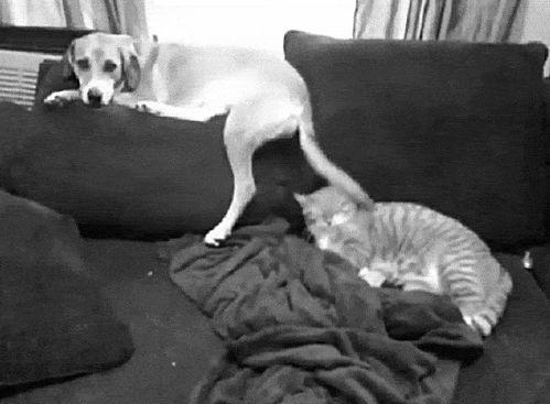 собака бьет хвостом кота