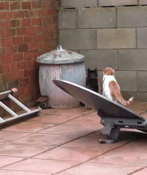 коты запрыгивают на забор