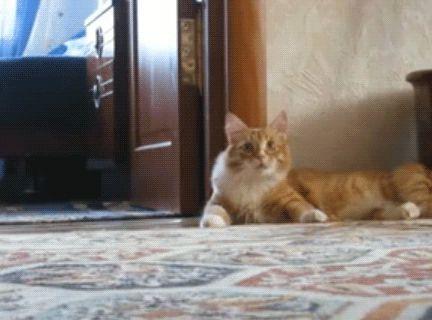 рыжий кот убегает на задних лапах