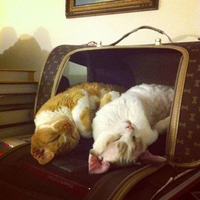 коты спят в сумке