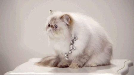 белый пушистый кот