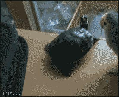 попугай столкнул черепашку