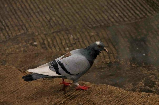 голубь с сюрпризом