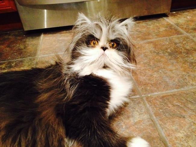 пушистый черно-белый кот