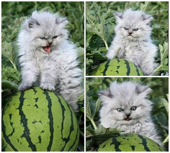 кот и арбуз
