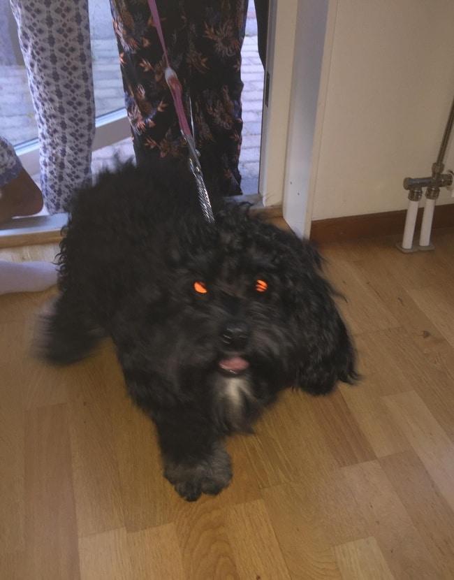 черная собака с красными глазами
