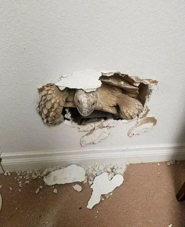 черепаха пробила стену