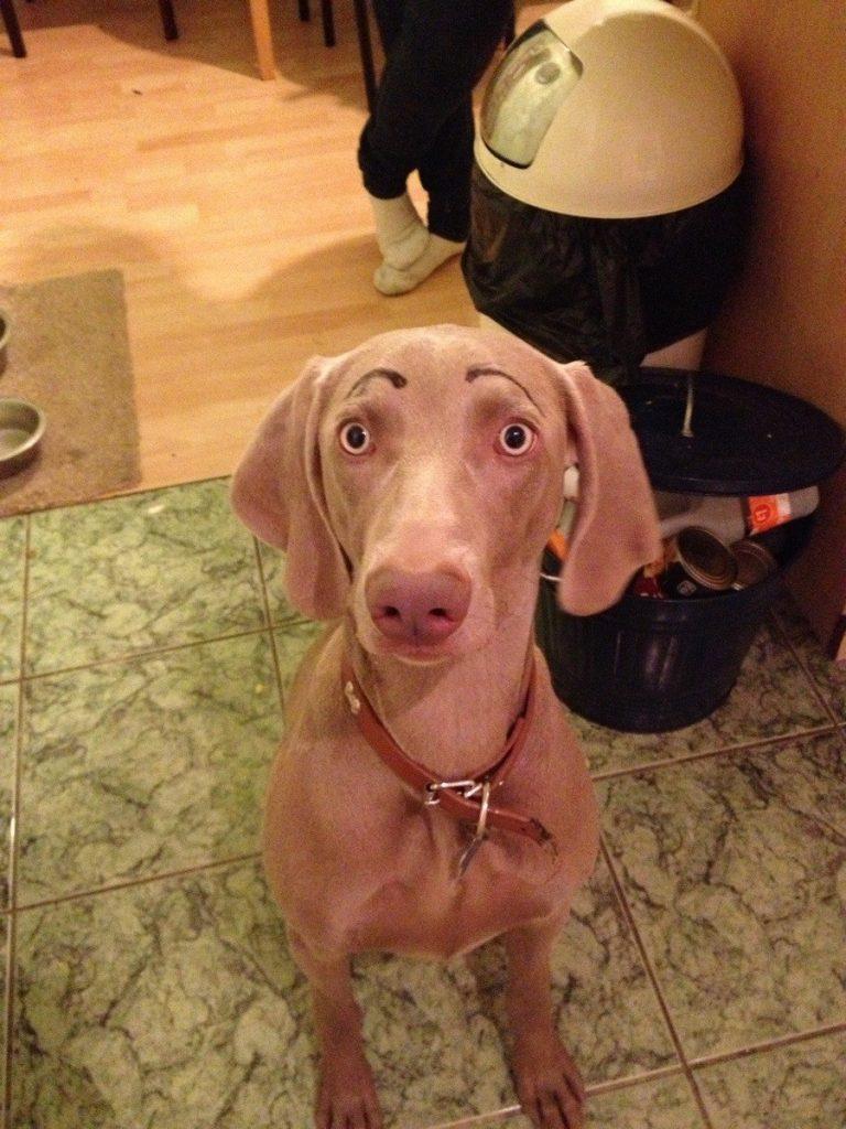 собака с нарисованными бровями