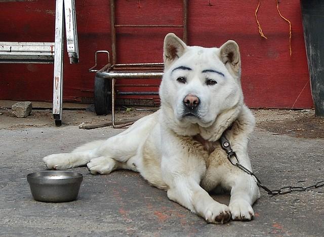 белый пес с бровями