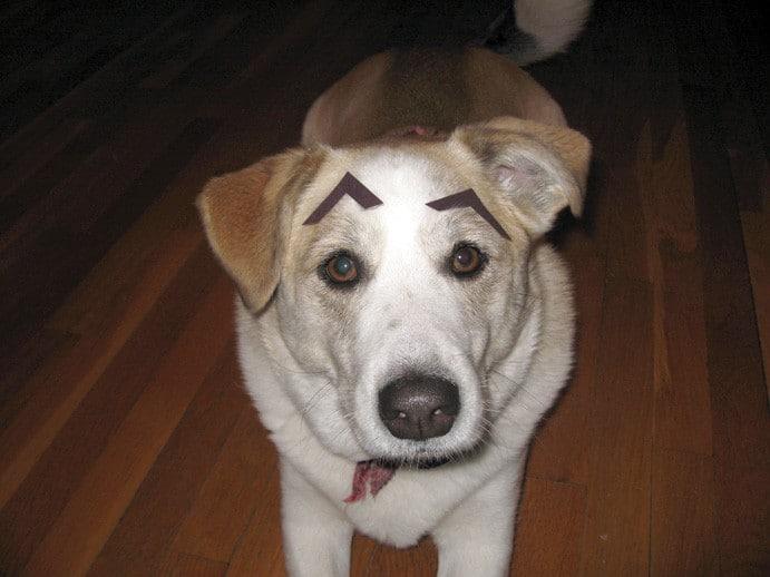собака с бровями