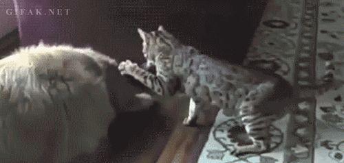 кот бьет собаку
