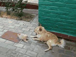 кошка бьет собаку