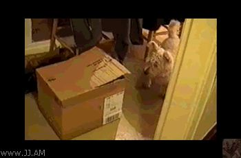белый кот в коробке