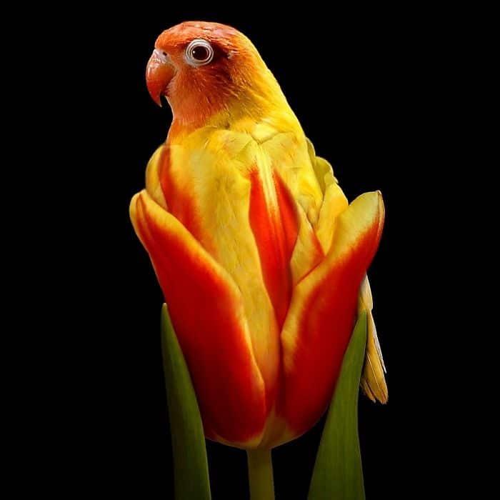 попугай в тюльпане