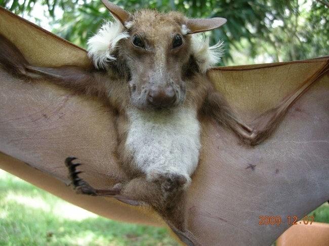 фруктовая летучая мышь