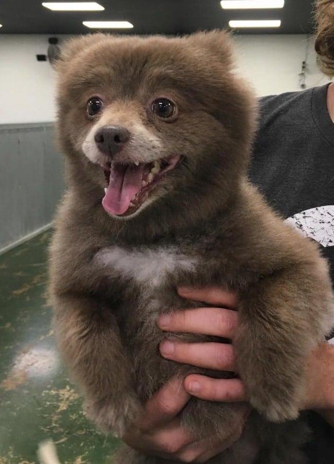щенок похожий на медведя
