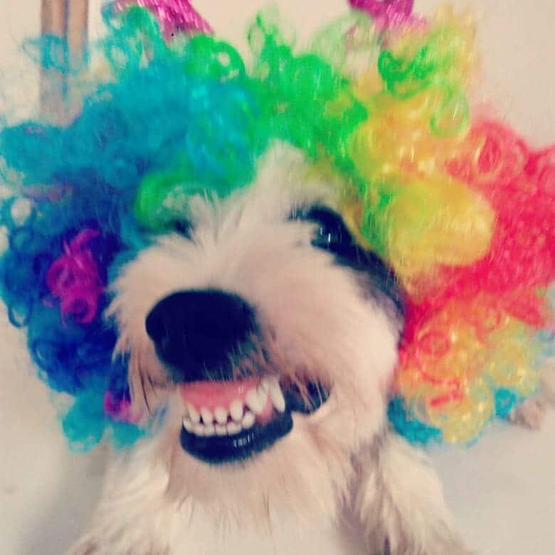 собака в парике