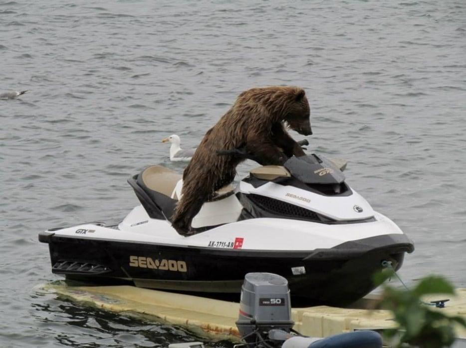медведь на водном мотоцикле
