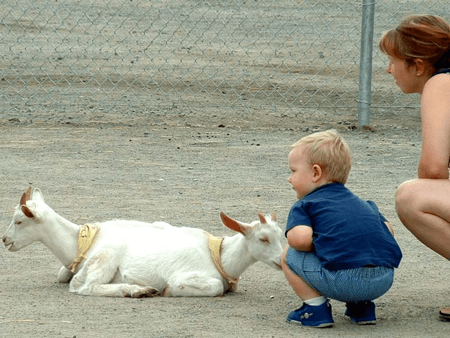 мальчик рядом с козами