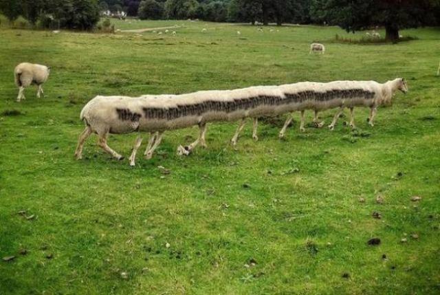 панорамное фото: длинная овца