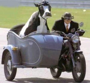 корова в мотоцикле
