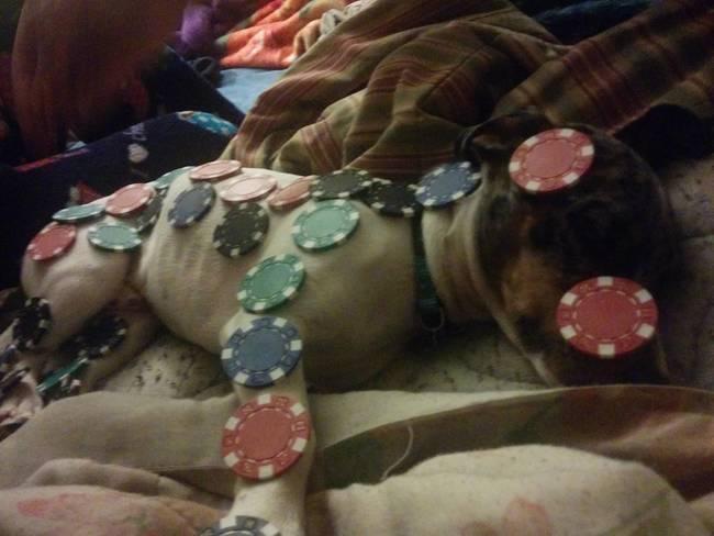 собака спит с фишками на теле