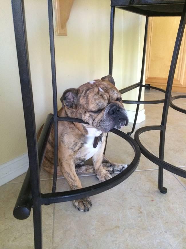 боксер под столом