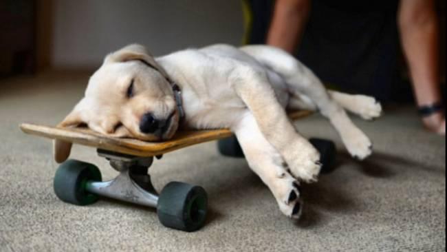 щенок спит на скейтборде