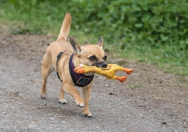 собака с игрушкой в зубах
