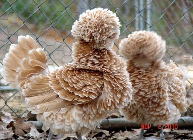 польская кружевная курица