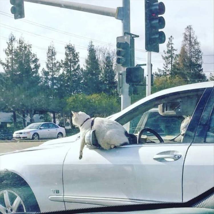 белый кот в окне автомобиля