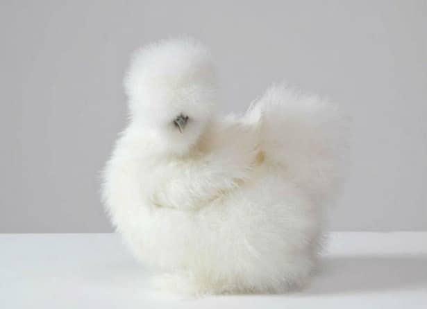 белая китайская шелковая курица