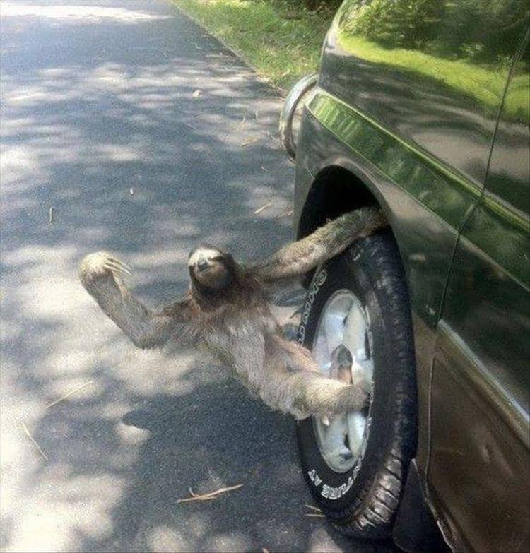 ленивец на колесе машины