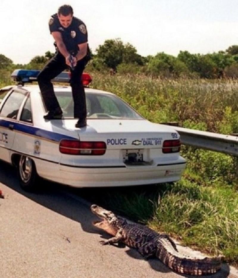 полицейский целится в крокодила