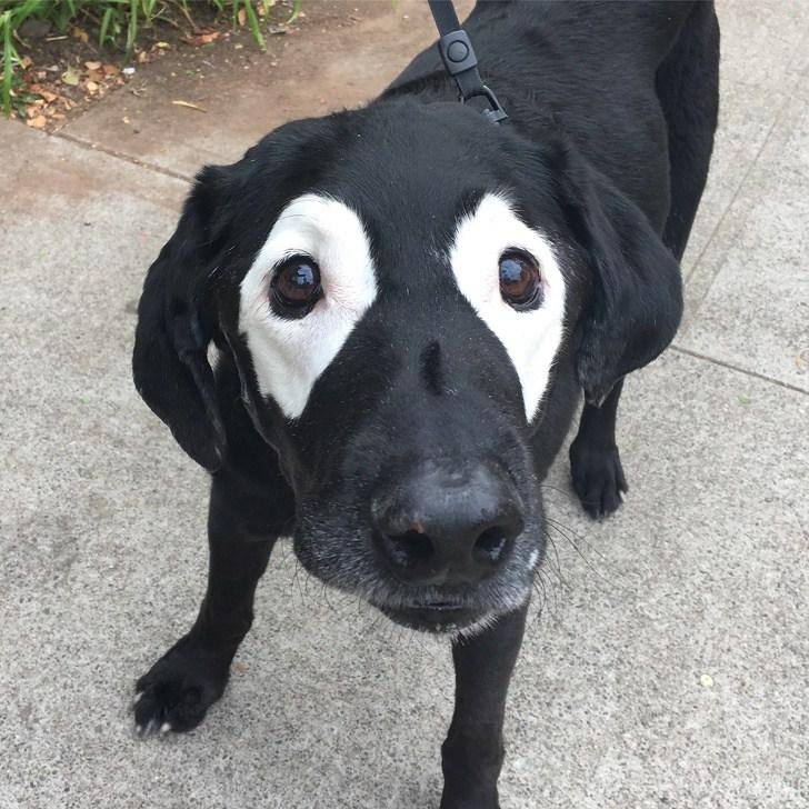 черная собака с белыми пятнами вокруг глаз