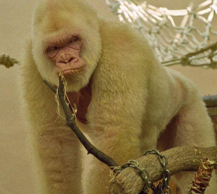 белая горилла
