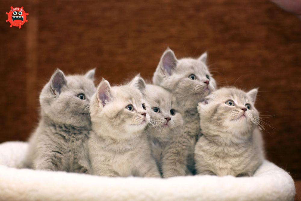 серые британские котята