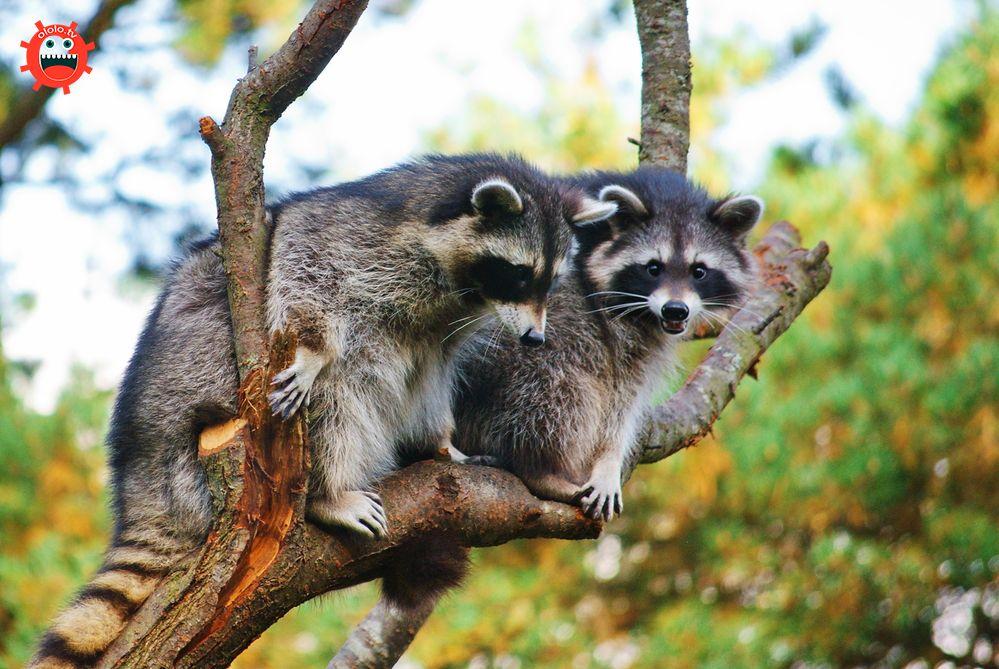еноты на дереве