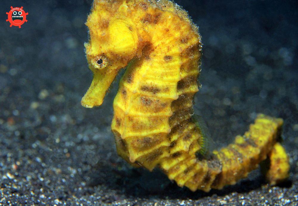 желтый морской конек