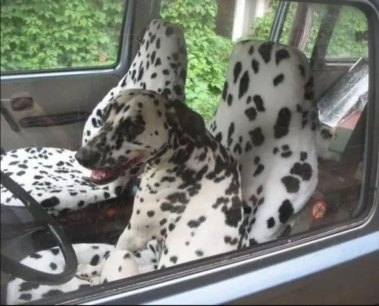 далматинец в машине