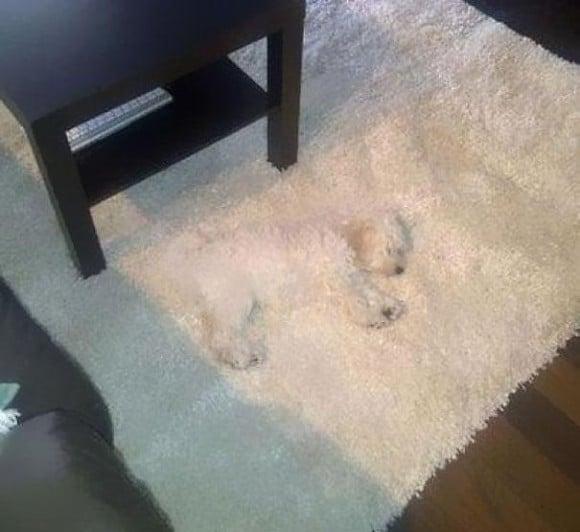 белая собака спит на белом ковре